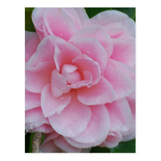 Blühendes rosa Camelia Postkarte