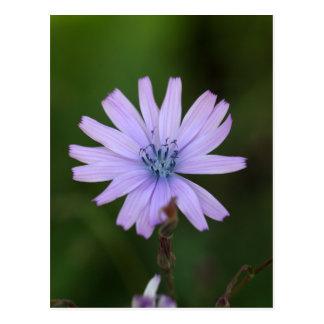 Blume eines Gebirgskopfsalates Postkarte