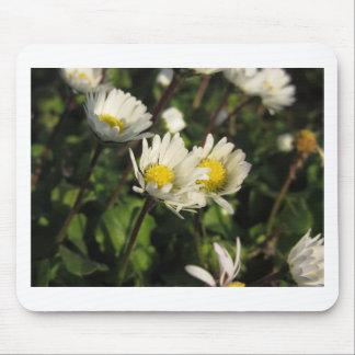 Blumen des weißen Gänseblümchens auf grünem Mousepad