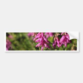 Blumen eines Dorset-Heide (Heidekraut cilaris) Autoaufkleber