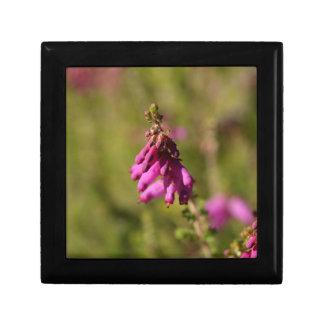 Blumen eines Dorset-Heide (Heidekraut cilaris) Erinnerungskiste