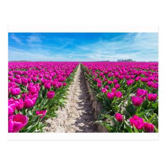 Blumenfeld mit lila Tulpen und Weg Postkarte