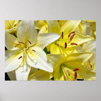 Blumenplakat der gelben und weißen Lilie Poster