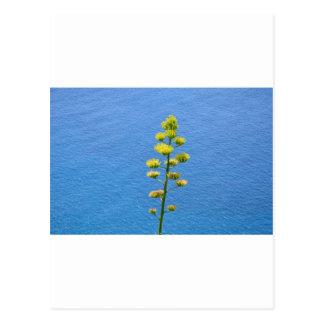 Blütenstand einer Agaven-Pflanze Postkarte