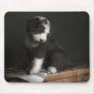 Bobtail Welpenporträt im Studio Mousepad