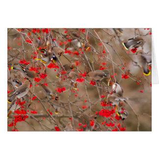 Böhmische Waxwings, die auf Eberesche füttern Karte