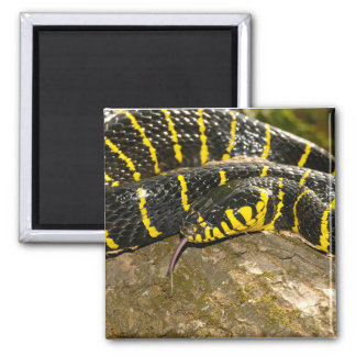 Boiga dendrophila oder Mangrovenschlange Quadratischer Magnet