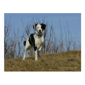 Border-Collie-Bein angehoben Postkarte