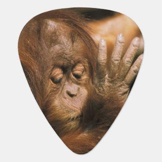 Borneo. Sichernder Orang-Utan oder Pongo pygmaeus. Plektron