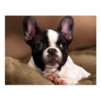Boston Terrier Postkarte