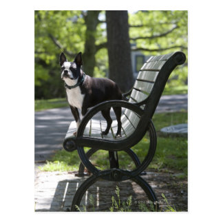 Boston Terrier Postkarte
