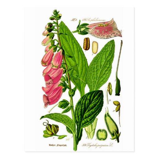 Botanik-Illustration der Fingerhut-(Fingerhut Postkarten