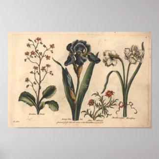 Botanische Kunst-Druck-Blau-Iris der Blumen-1757 Poster