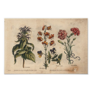 Botanische Kunst-Druck-Gartennelke der Blumen-1757 Poster