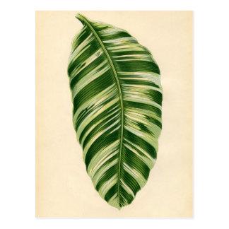 Botanischer Druck - Banane (Musa vittata) Postkarte