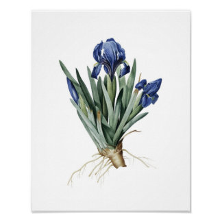 Botanischer Druck der IRIS ursprünglich durch Redo Poster