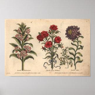 Botanischer Kunst-Druck Balsamina der Blumen-1757 Poster