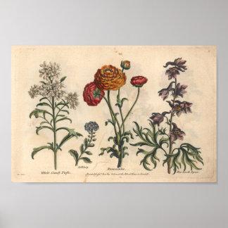 Botanischer Kunst-Druck Candytuft der Blumen-1757 Poster
