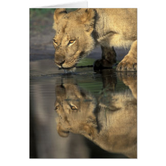 Botswana, Moremi Spiel-Reserve, Löwin (Panthera Karte