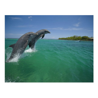 Bottlenose-Delphine (Tursiops truncatus) Postkarte