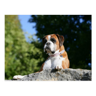 Boxer-Hund, der auf einen Felsen legt Postkarte