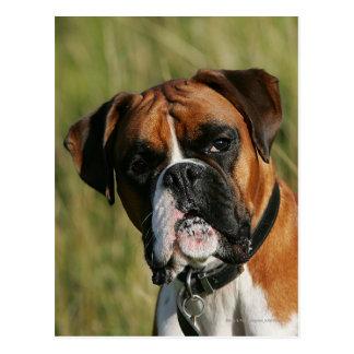 Boxer-Hund, der entlang der Kamera anstarrt Postkarte