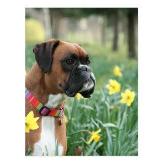 Boxer-Hund in den Narzissen Postkarte