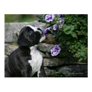Boxer-Hundekeuchen Postkarte