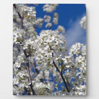 Bradford-Birnen-Blüte Fotoplatte