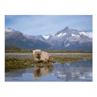 Braunbär, Ursus arctos, Grizzlybär, Ursus 4 Postkarte