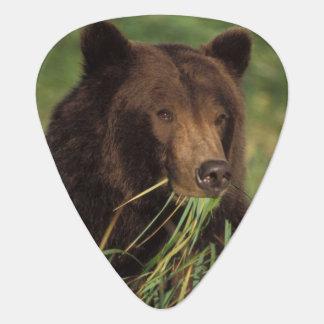 Braunbär, Ursus arctos, Grizzlybär, Ursus 7 Plektrum