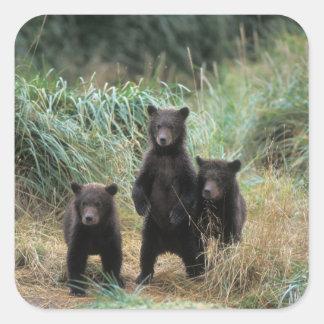 Braunbär, Ursus arctos, Grizzlybär, Ursus 7 Quadrat-Aufkleber