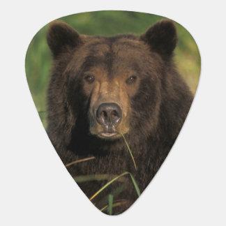Braunbär, Ursus arctos, Grizzlybär, Ursus 9 Plektrum