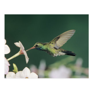 Breit-berechneter Kolibri, Cynanthus latirostris, Postkarte