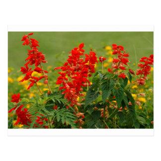 Brennendes Rot - heißer Blumen-Garten Sally Salvia Postkarte