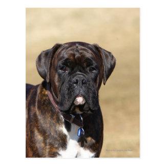 Brindle Boxer-Hund stehend Postkarte