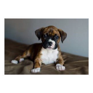 Brindle Boxer-Welpe Poster