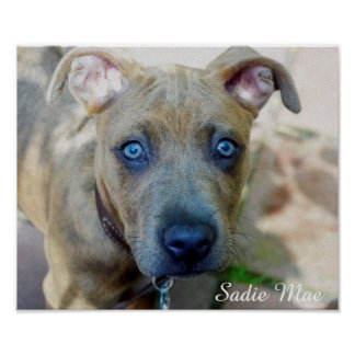 Brindle Pitbull-Welpe durch Shirley Taylor Poster