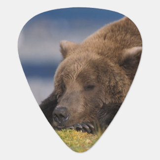 Brown-Bär, Grizzlybär, ein Nickerchen nehmend, Plektron