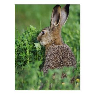 Brown-Hasen, Lepus europaeus, junges Essen, Postkarte