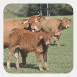 Brown-Kuh, die ihr Kalb wäscht Quadratischer Aufkleber