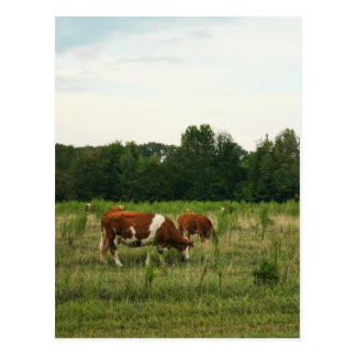 Brown und weißes Hereford Vieh Postkarte