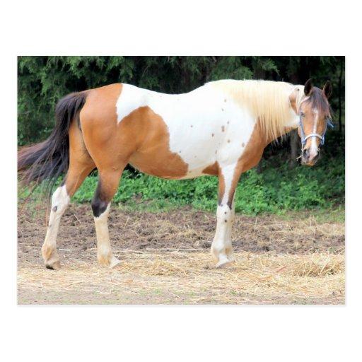 Brown und weißes Pferd mit einem hellblauen Zaum Postkarte