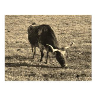Brown und weißes Weiß und   Brown Ca Longhorns Postkarte