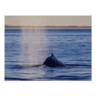 Buckel-Wal-Sonnenuntergang-Surfer-Paradies Poster
