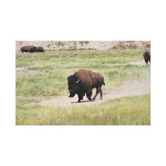 Büffel in Bewegung, Fotografie Leinwanddruck