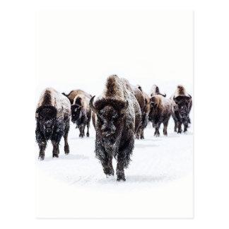 Büffel Postkarte