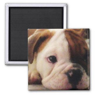 Bulldoggenwelpe Magnet