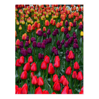 Bunter Tulpe-Blumengarten Postkarte