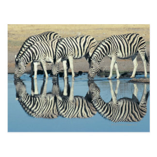 Burchells Zebra (Equus burchelli) trinkend an Postkarte